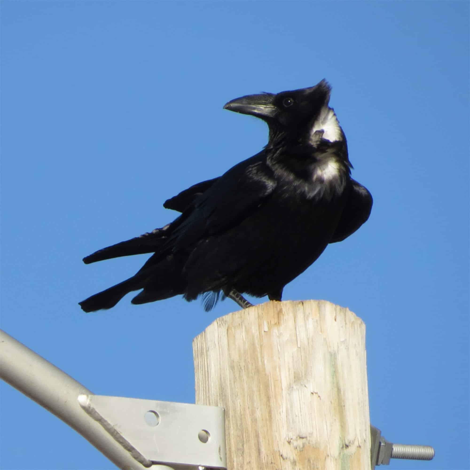 Chihuahua Raven in Sierra County NM