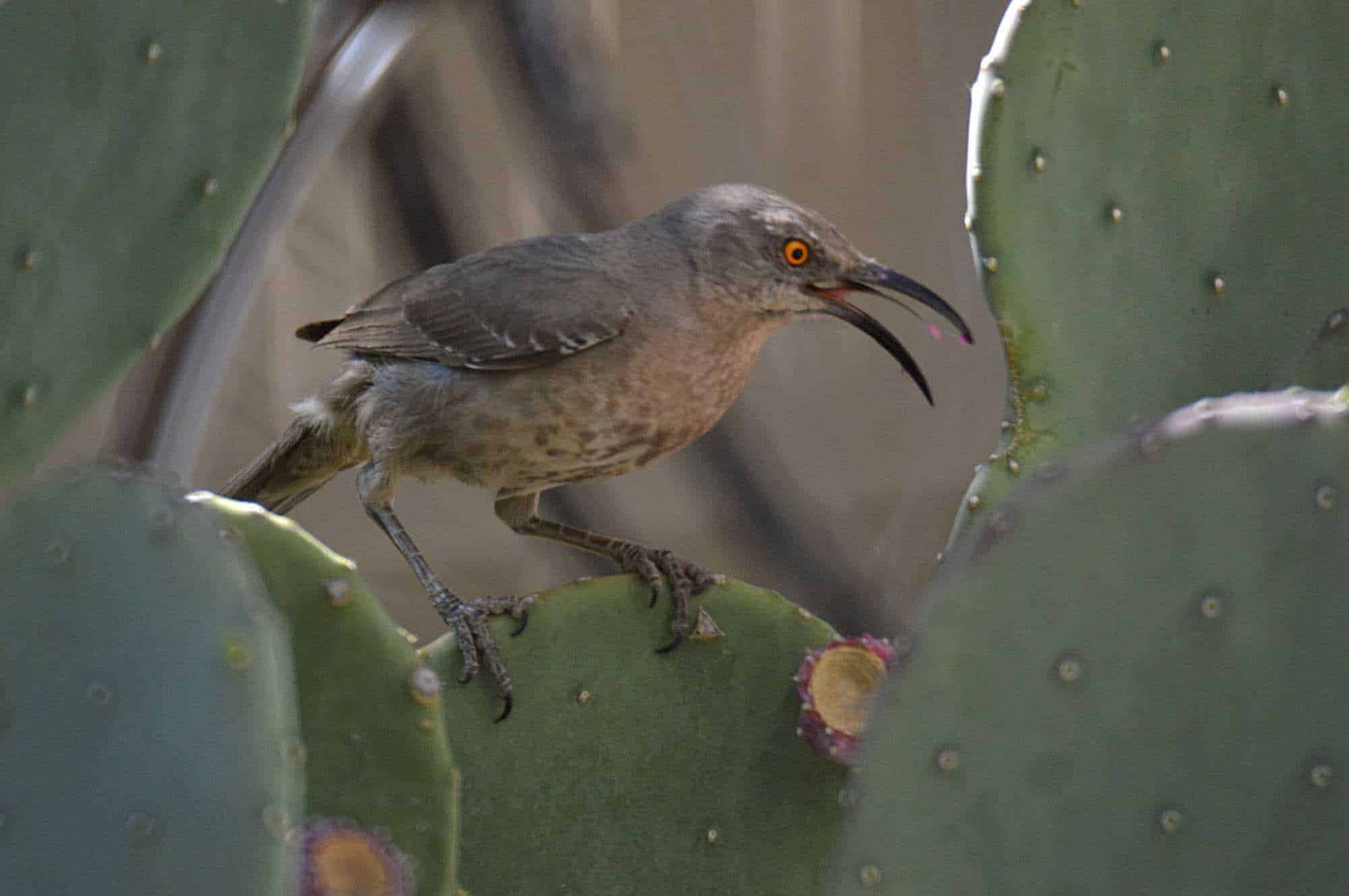 Curved Bill Thatcher on a cactus in Sierra County
