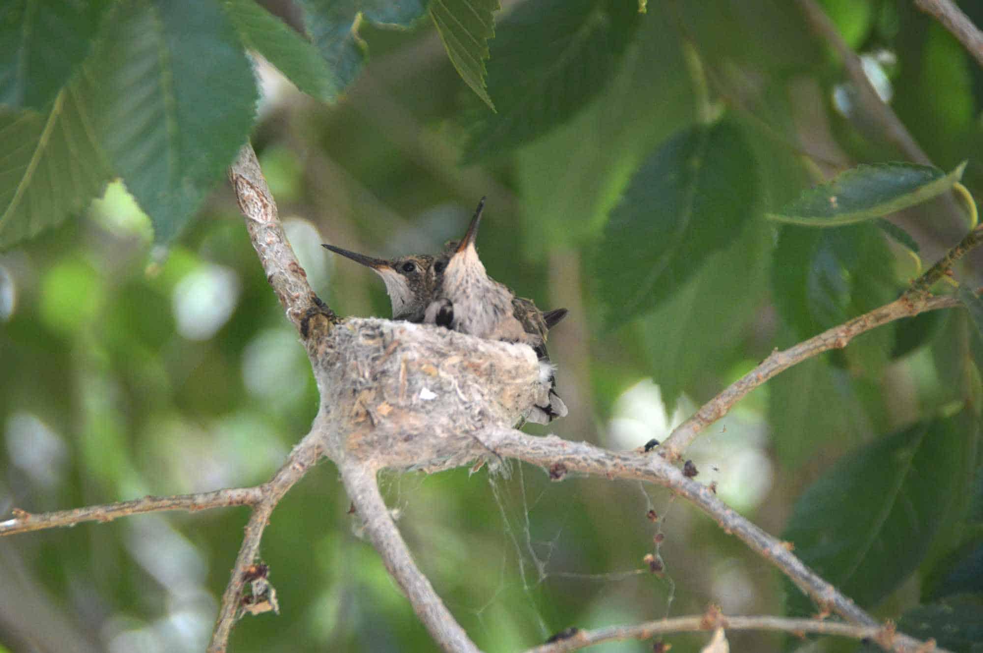 hummingbirds in the nest Sierra County NM