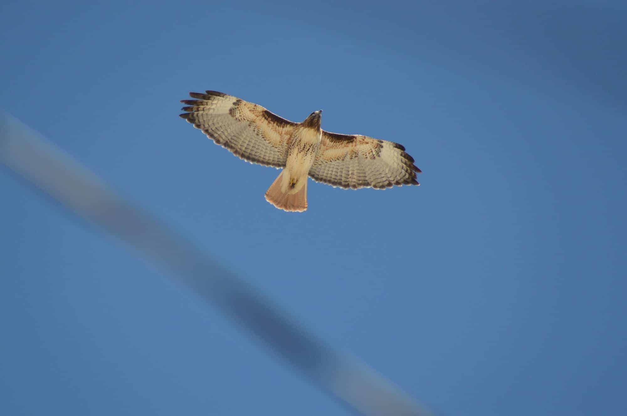 red tailed hawk over Truth or Consequences