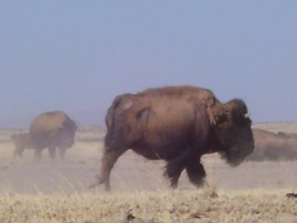 buffalo near Engle New Mexico