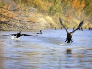 ducks on the Rio Grande