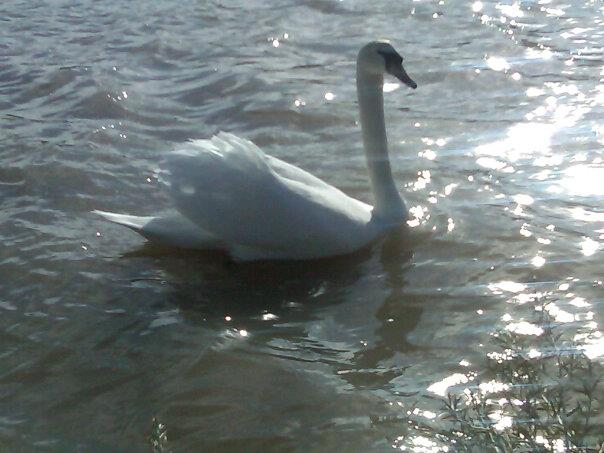 Swan on the river, spring 2012
