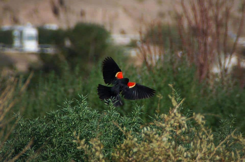 black bird with red wings at Rotary Park in Truth or Consequences