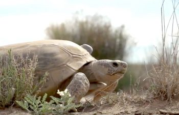 tortoise at Turner Ranch