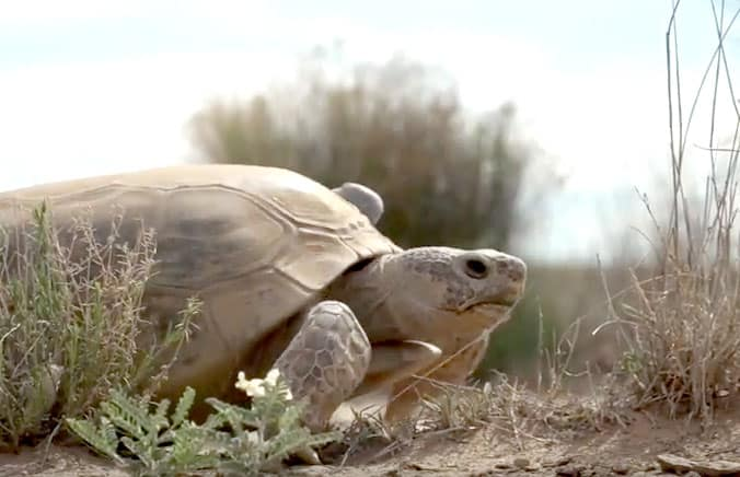 tortoise at Turner Ranch