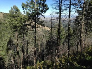 forest in the Gila Wilderness