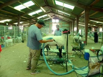 Prepping sheep to be shown at the Sierra County Fair