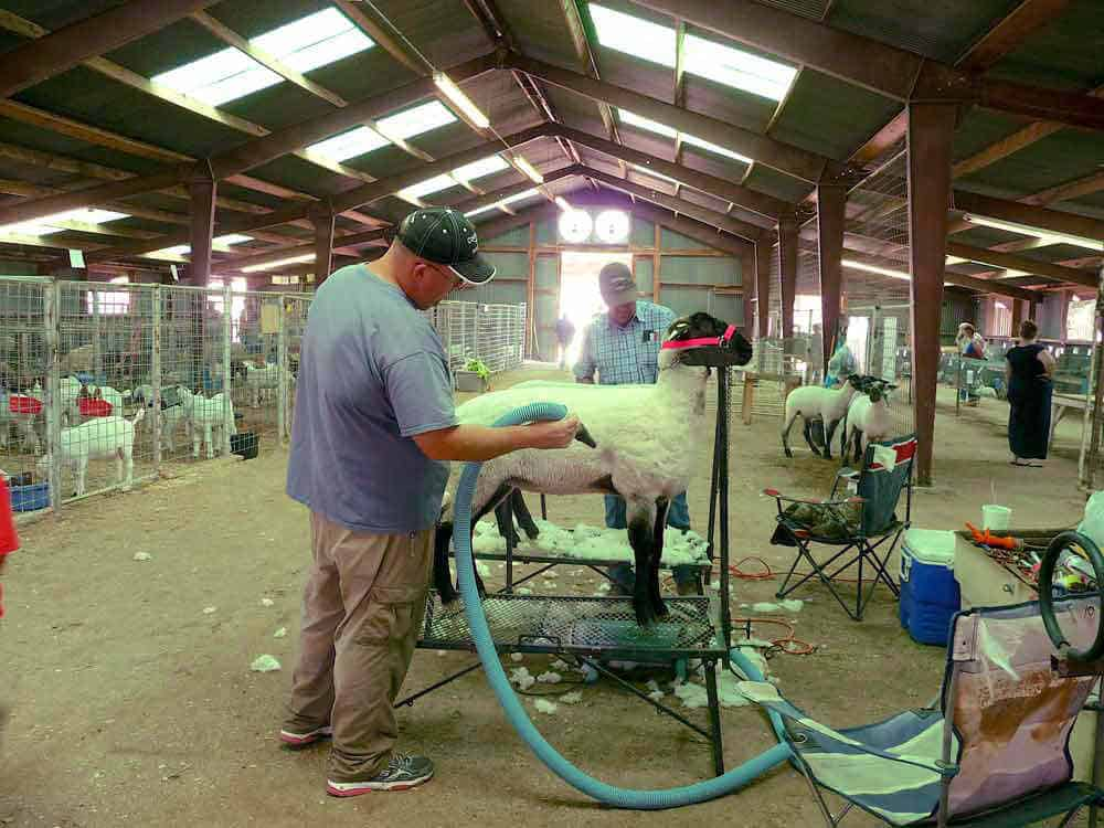 shearing sheep  to show at the Sierra County New Mexico Fair