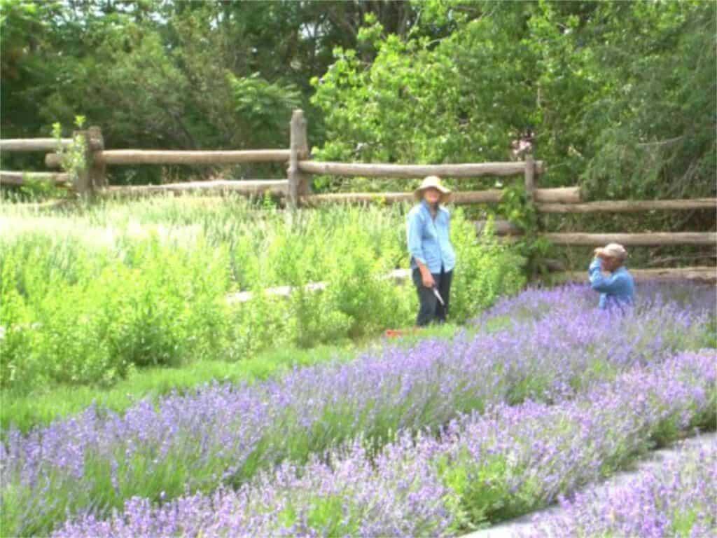 Old Monticello Farms Lavender field