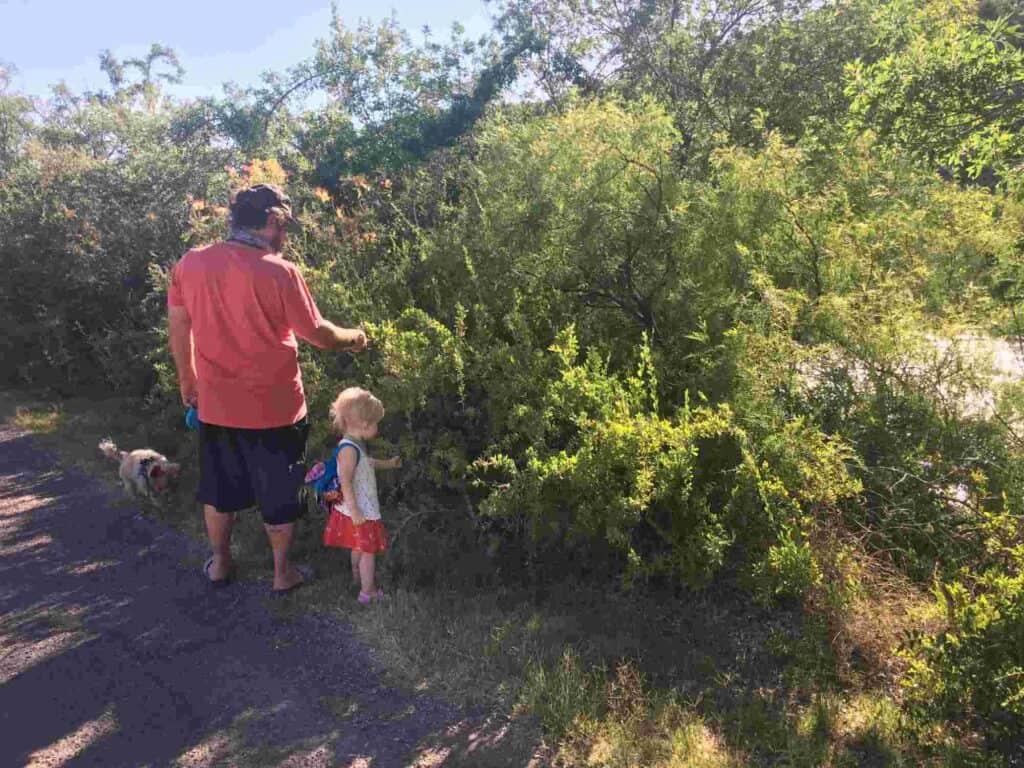 picking wild goji on Fish Hathchery walking path