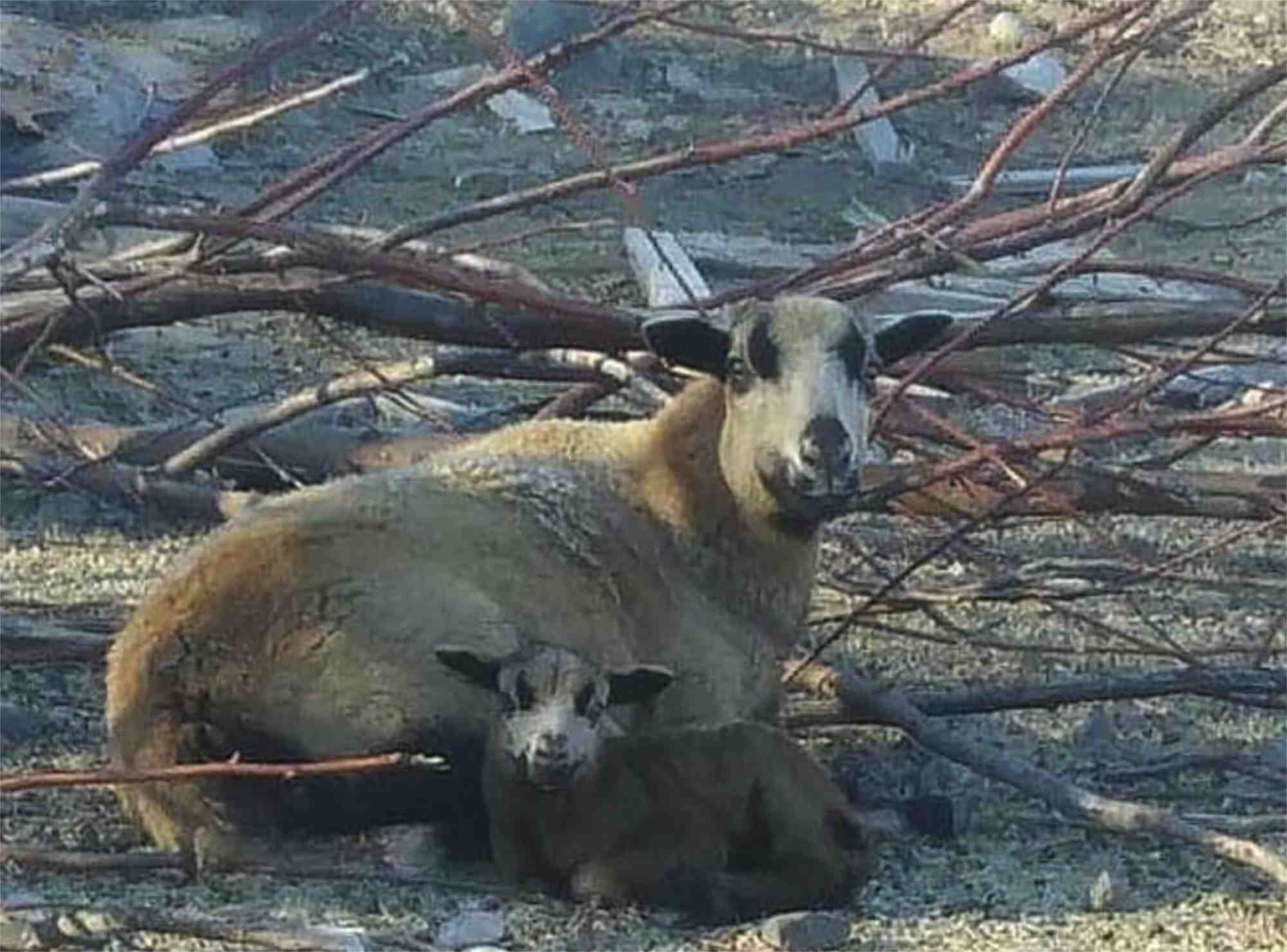 goats at Raggedy Edge Ranch